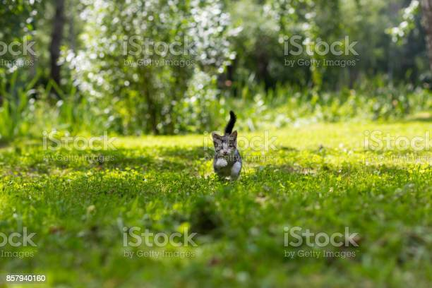 Gray kitten with a white muzzle jumping in the grass picture id857940160?b=1&k=6&m=857940160&s=612x612&h=giv24kggfmrc6a9xhgdt f9efb d3fmz71wob57pz1u=