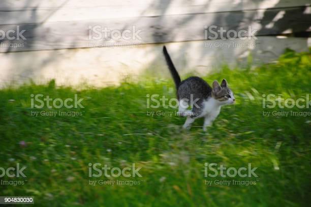 Gray kitten with a white muzzle jumping in the grass picture id904830030?b=1&k=6&m=904830030&s=612x612&h=nrfhvs4wm6orjujtcaveeo2wxqqyf sx6b6kblupliu=