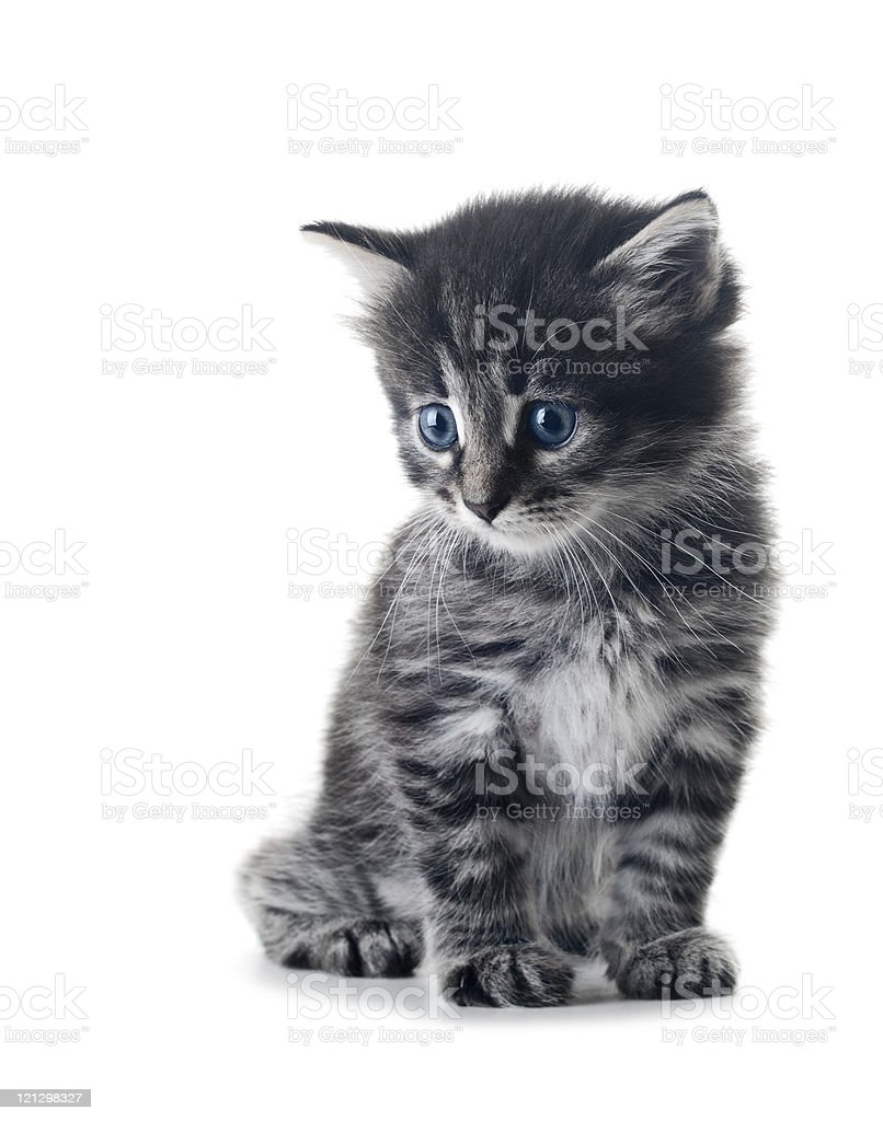 A gray kitten with blue eyes on a white background stock photo