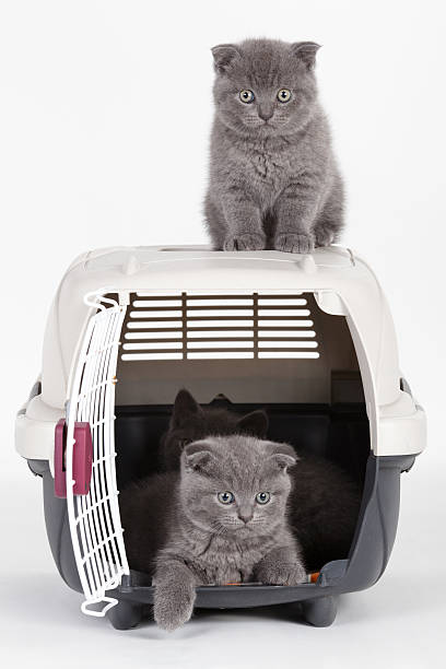 Gray kittens in carrying case picture id520228194?b=1&k=6&m=520228194&s=612x612&w=0&h=gshxcgcncthexix2fmluq5xmafuj1r s8ougi60bueq=