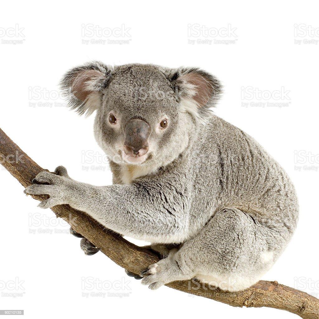 Gray koala bear on a thick tree branch royalty-free stock photo