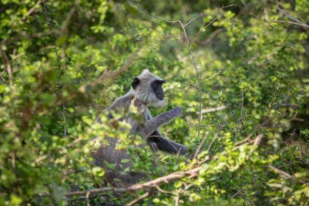 Gray langur in the jungle Wild gray langur in a tree in a jungle in Sri Lanka tufted gray langur stock pictures, royalty-free photos & images
