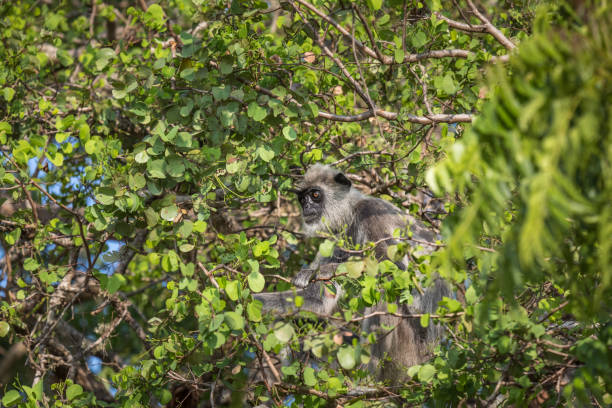 Gray langur in the jungle Gray langur in the jungle tufted gray langur stock pictures, royalty-free photos & images