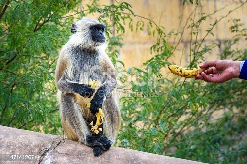 Gray langur monkey eating bananas In Amber fort. Rajasthan. India