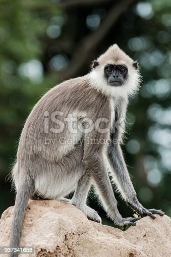 Gray Langur Monkey seating on a termite nest