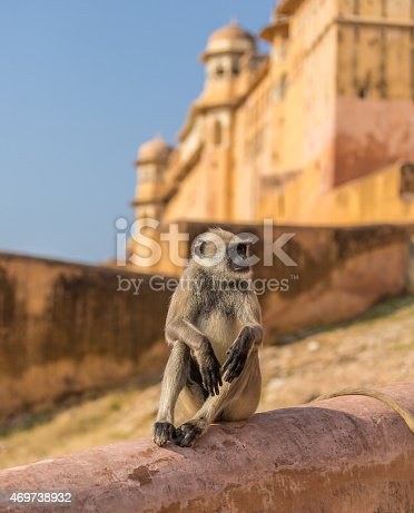 Indian Gray Langur monkey seating on a wall the Amber Fort, Rajasthan.