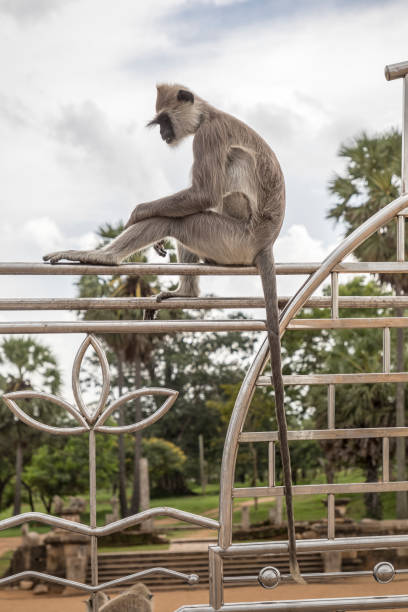Gray langur sitting on a fence Gray langur sitting on a fence outside a temple tufted gray langur stock pictures, royalty-free photos & images