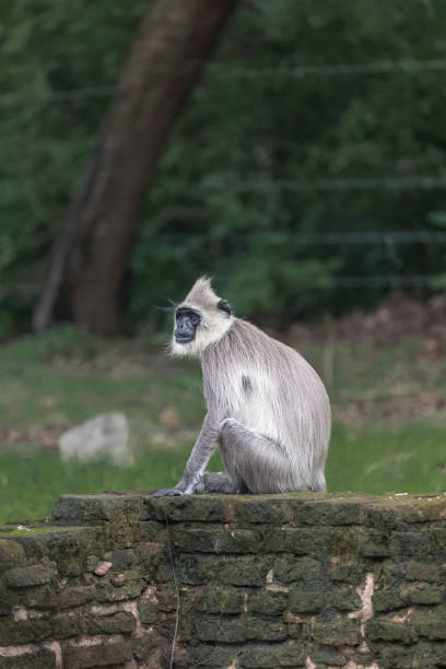 Gray langur sitting on a low wall Gray langur sitting on a low wall outside a temple tufted gray langur stock pictures, royalty-free photos & images