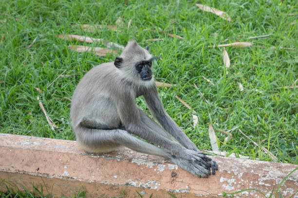 Gray langur sitting on the ground Gray langur sitting on the ground outside a temple tufted gray langur stock pictures, royalty-free photos & images