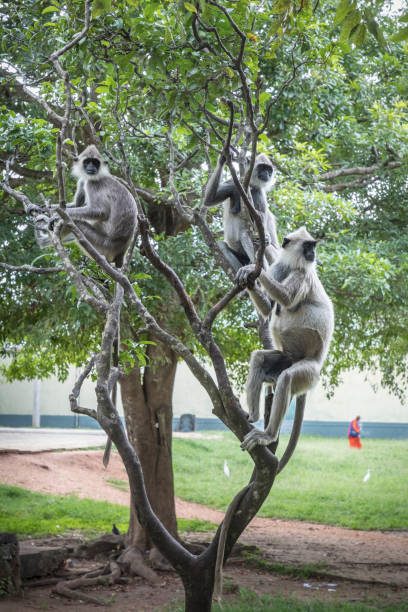 Gray langurs in a tree Group of gray langur monkeys in a tree tufted gray langur stock pictures, royalty-free photos & images