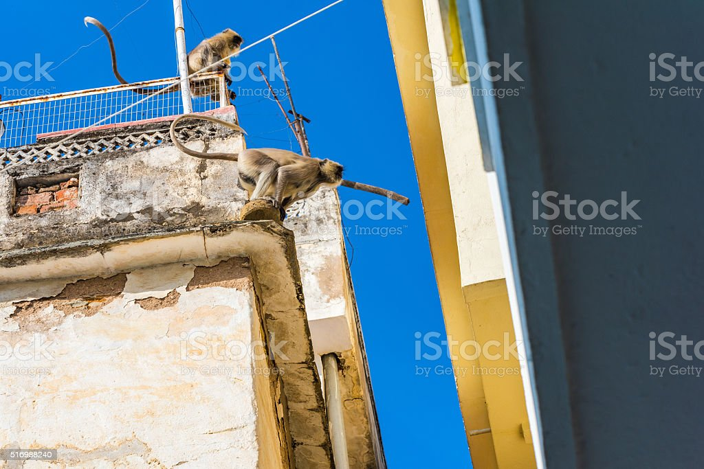 Gray Langurs jump crossing a gap between buildings' roofs stock photo