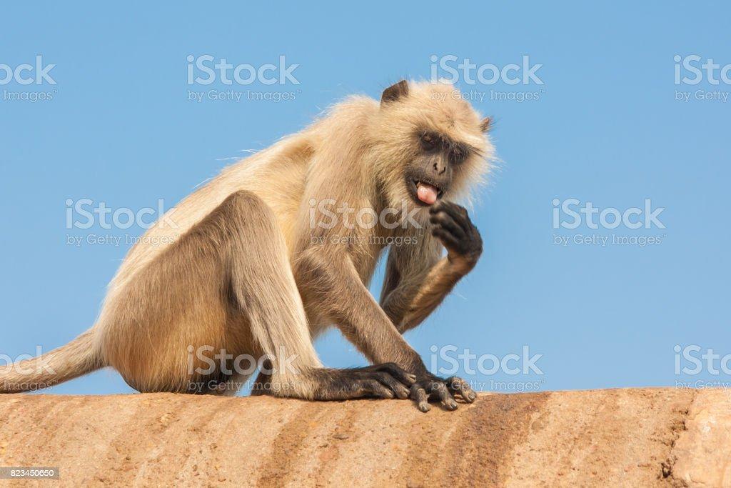 Gray langurs or Hanuman langurs stock photo