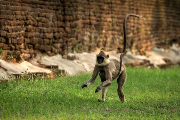 Gray langurs, sacred langurs, Indian langurs or Hanuman langurs in sacred city Anuradhapura, female monkey running on grass with her baby, Sri Lanka, exotic adventure in Asia, ancient temple Gray langurs, sacred langurs, Indian langurs or Hanuman langurs in sacred city Anuradhapura, female monkey running on grass with her baby, Sri Lanka, exotic adventure in Asia, ancient temple tufted gray langur stock pictures, royalty-free photos & images
