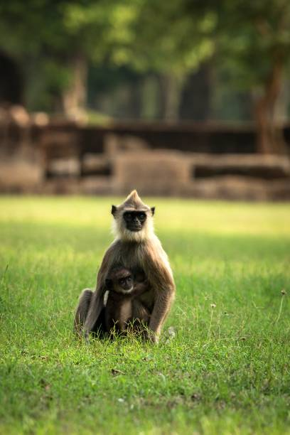 Gray langurs, sacred langurs, Indian langurs or Hanuman langurs in sacred city Anuradhapura, monkey sitting on grass with its baby, Sri Lanka, exotic adventure in Asia, ancient temple Gray langurs, sacred langurs, Indian langurs or Hanuman langurs in sacred city Anuradhapura, monkey sitting on grass with its baby, Sri Lanka, exotic adventure in Asia, ancient temple tufted gray langur stock pictures, royalty-free photos & images
