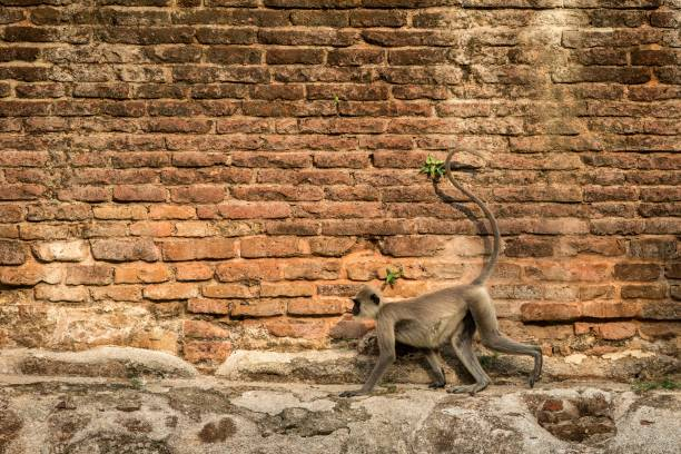 Gray langurs, sacred langurs, Indian langurs or Hanuman langurs in sacred city Anuradhapura, monkey running on wall of ancient temple, Sri Lanka, exotic trip in Asia, monkey with long tail Gray langurs, sacred langurs, Indian langurs or Hanuman langurs in sacred city Anuradhapura, monkey running on wall of ancient temple, Sri Lanka, exotic trip in Asia, monkey with long tail tufted gray langur stock pictures, royalty-free photos & images