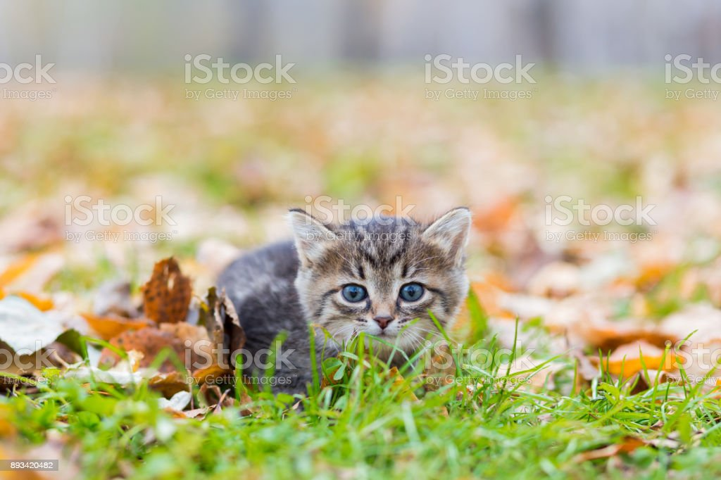 Gray little kitten in the autumn glade among the fallen leaves stock photo