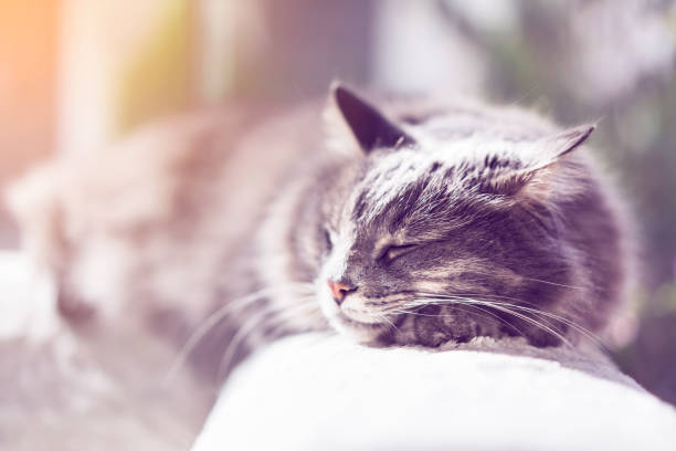 gray long hair domestic cat sleeping on the couch - котик яркий стоковые фото и изображения