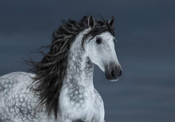 graue lange mähne andalusischen pferd in bewegung am himmel dunkle wolke. - andalusier pferd stock-fotos und bilder
