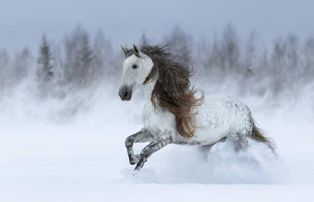 graues, langgriechisches spanisches pferd galoppiert beim schneesturm. - andalusier pferd stock-fotos und bilder