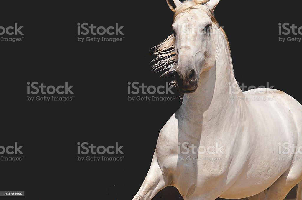 Gray Lusitano Stallion stock photo