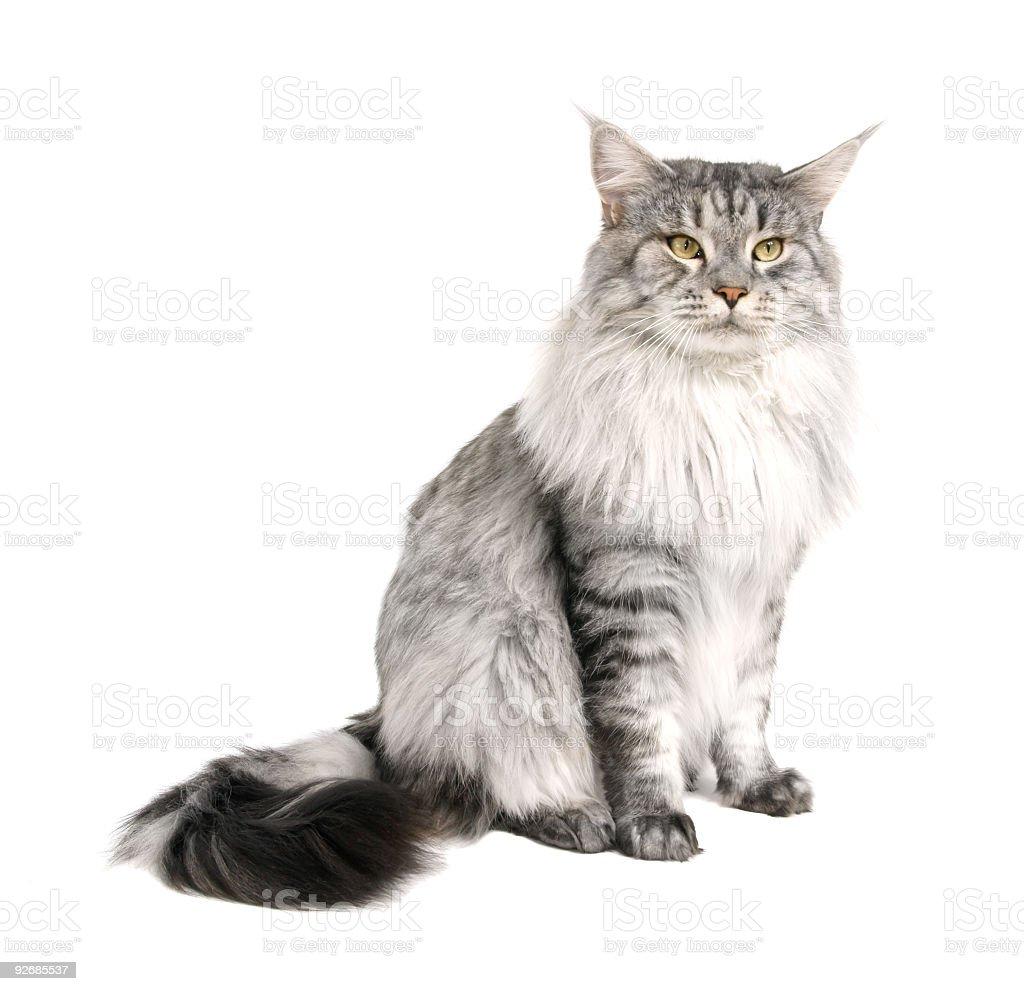 Maine Coon Kot Na Białym Tle Stockowe Zdjęcia I Więcej Obrazów