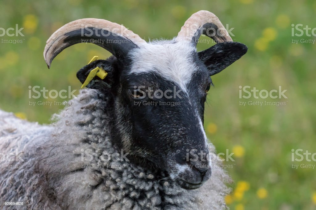 Gray male sheep with black head and curved horns stock photo