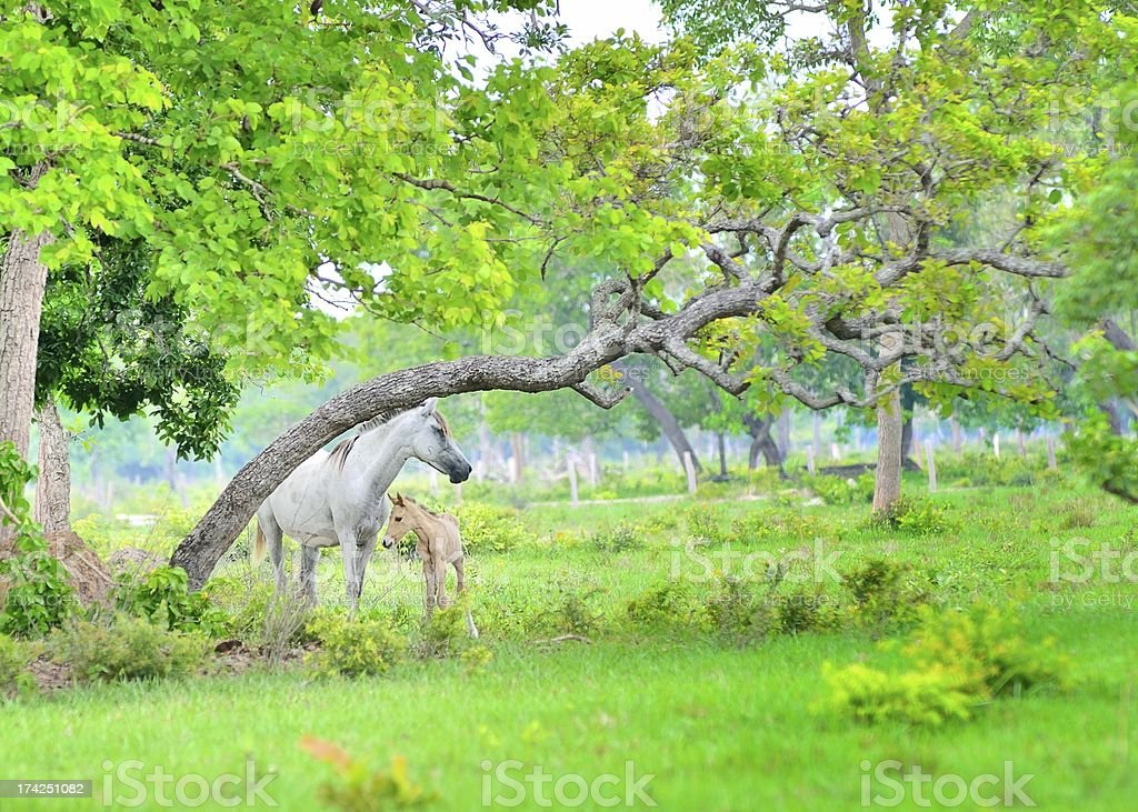Gray Mare And Foal In The Pantanal royalty-free stock photo
