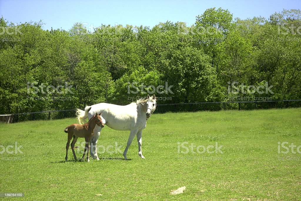 Gray Mare with Foal stock photo
