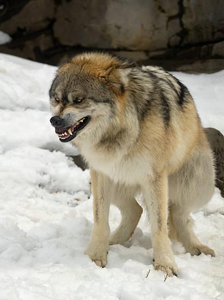 gray mexikanischer wolf (canis lupus baileyi crouches submissively - knurren stock-fotos und bilder
