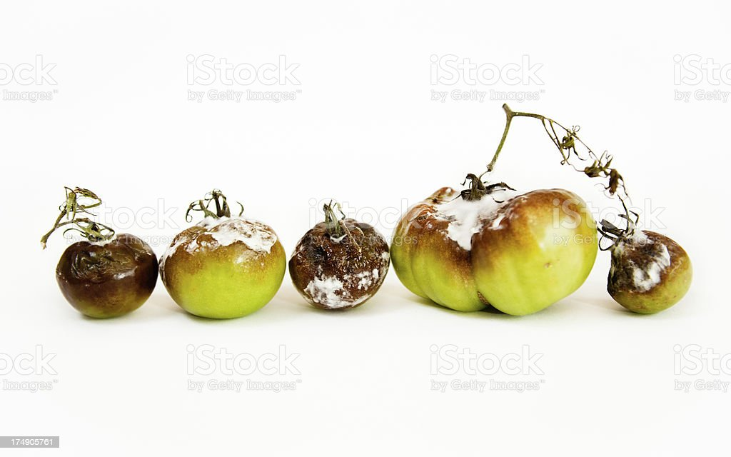 Gray Mold disease - Botrytis cinerea royalty-free stock photo