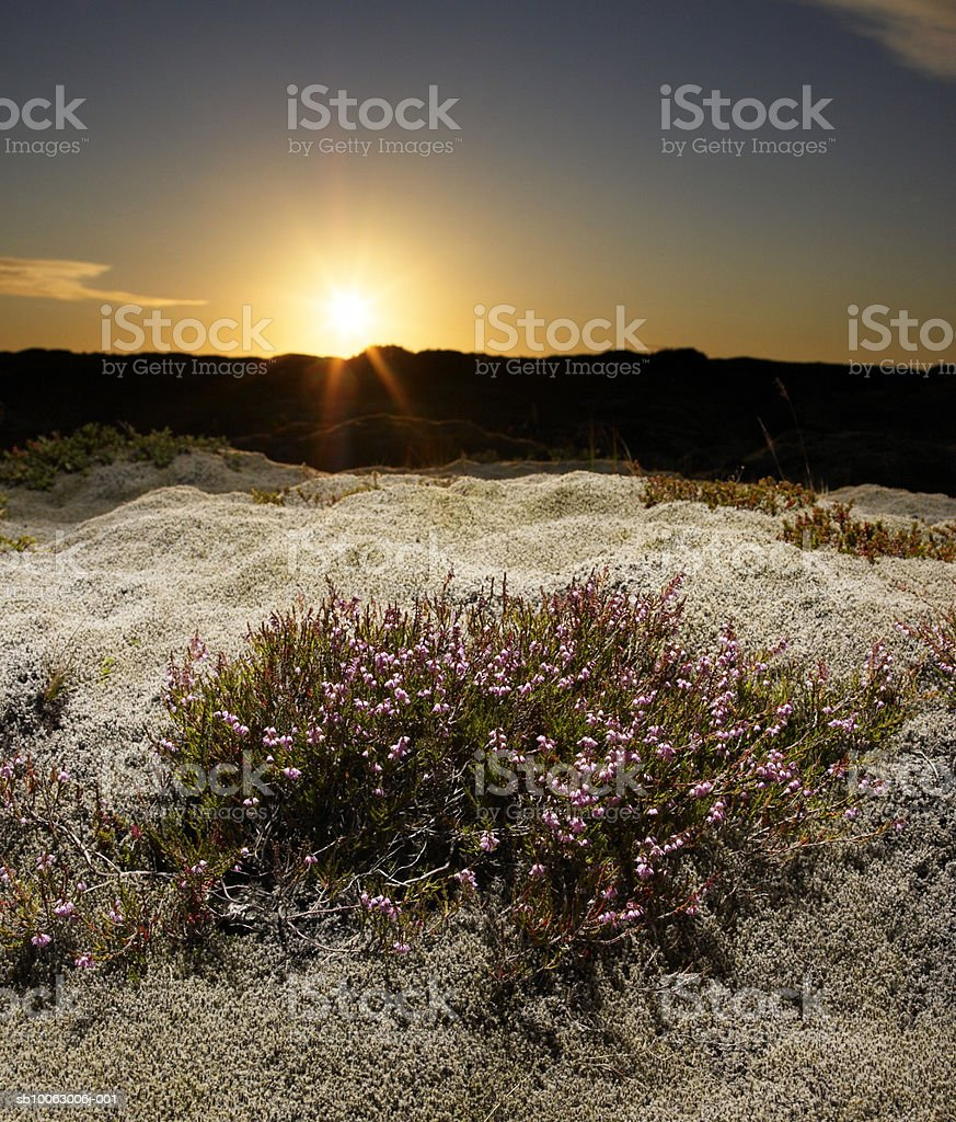 Gray Moss (Racomitrium lanuginosum) with Heather (Calluna Vulgaris) in Lava Field royalty-free stock photo