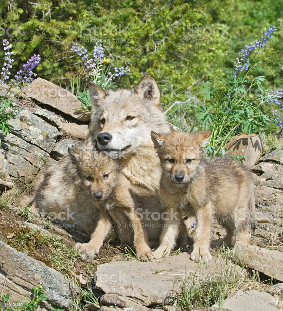 Gray mother wolf sun bathes with her cubs in the forest stock photo