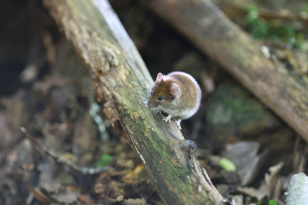 gray mouse crawls out of the burrow from the ground in the forest stock photo