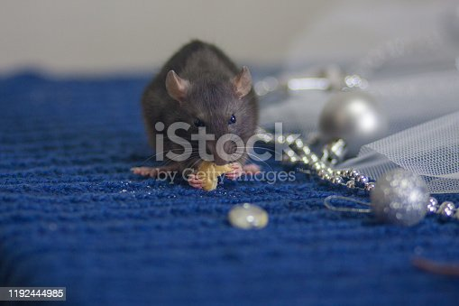 1206982378 istock photo Gray mouse eats cheese on a blue 1192444985