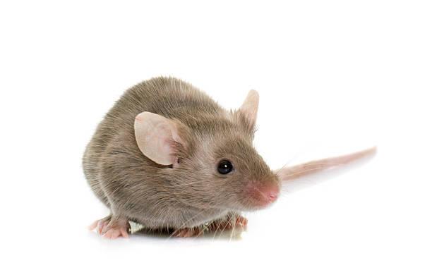 gray mouse in studio - maus stock-fotos und bilder