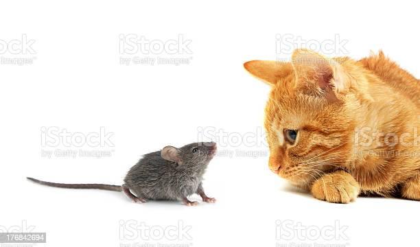 Gray mouse with an orange cat picture id176842694?b=1&k=6&m=176842694&s=612x612&h=lqhcl8qqcj5klwsbgaift8bu065nwugo4wtjqhyqchw=