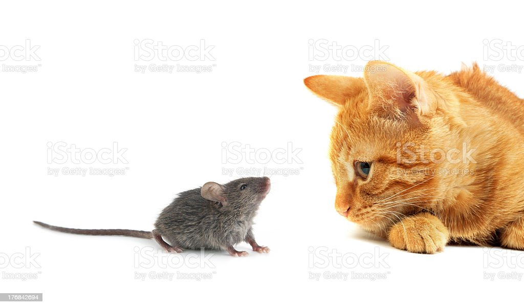 A gray mouse with an orange cat stock photo