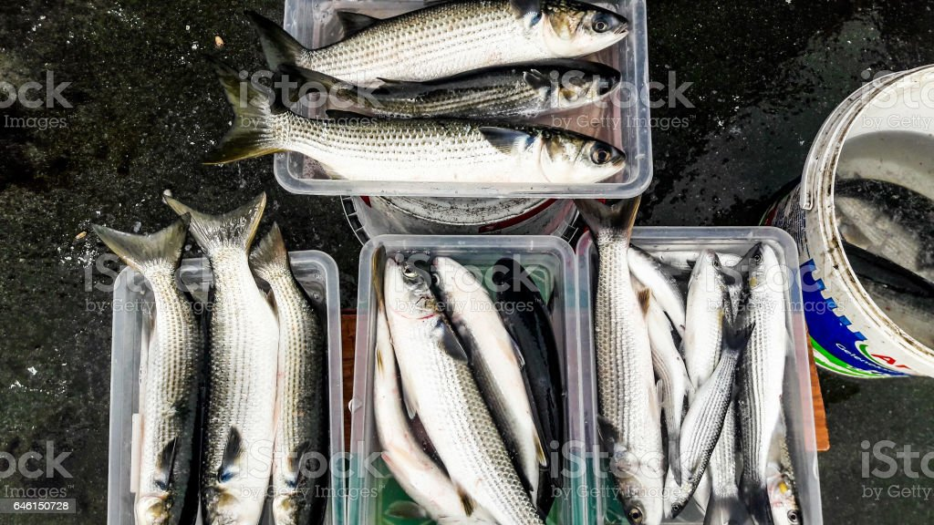 Gray Mullet Fish In Styrofoam Box Stock Photo & More Pictures of