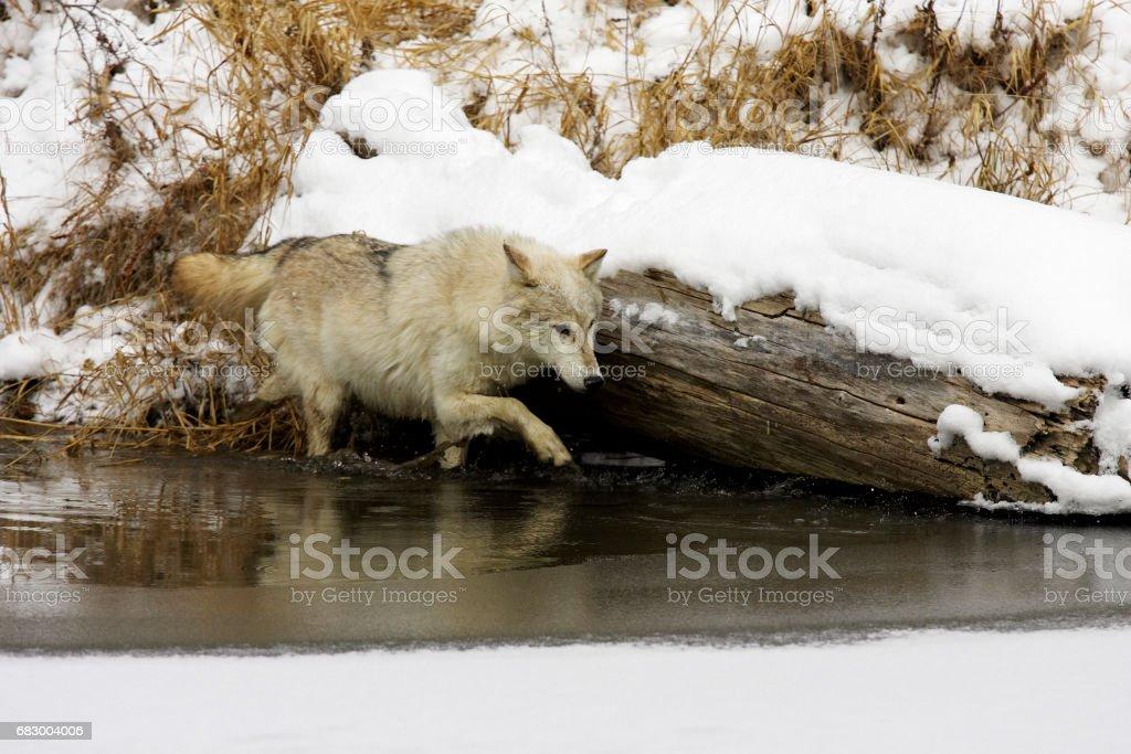 Gray or Arctic Wolf foto de stock royalty-free