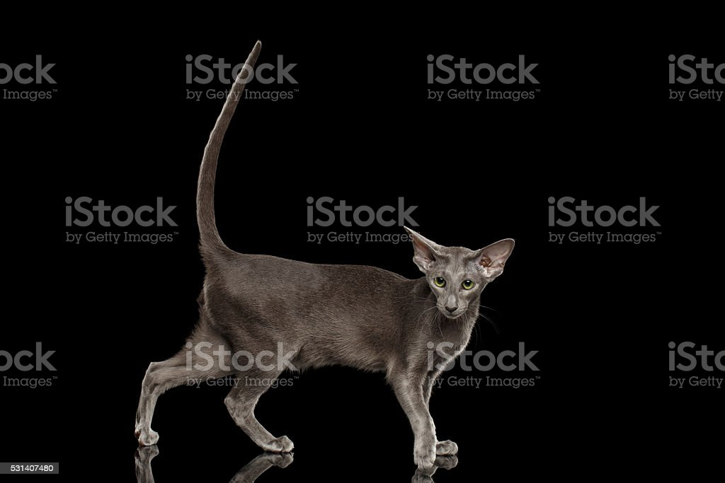 Gray Oriental Cat Standing and raised tail, Black Isolated stock photo