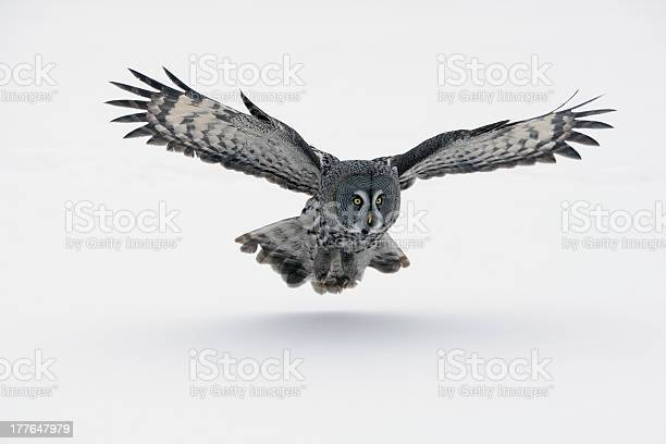 Gray owl with wings spread out picture id177647979?b=1&k=6&m=177647979&s=612x612&h=83jp s3d9phglntdjqf0mvlulfqfd6mely7fw1u4ckm=