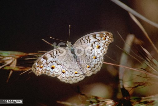 Gray Pansy, Junonia atlites,  butterfly, India