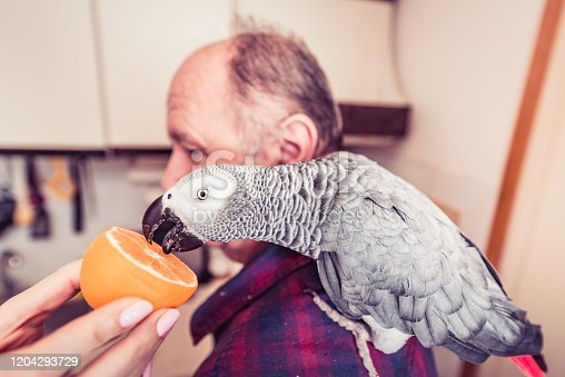 African gray parrot with his owner