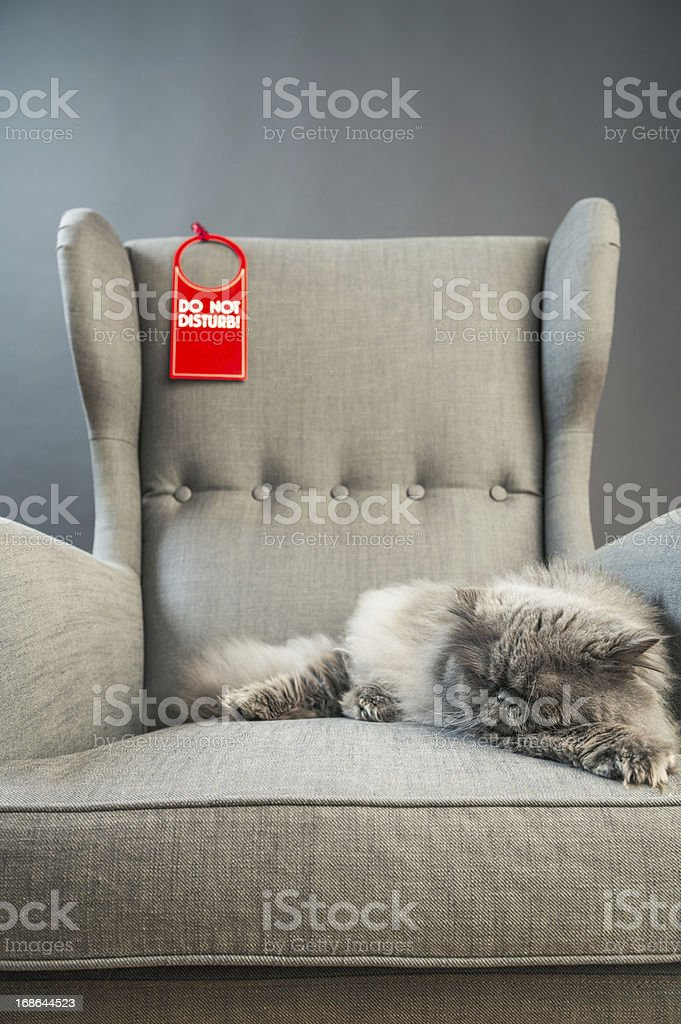 Gray persian cat on armchair royalty-free stock photo