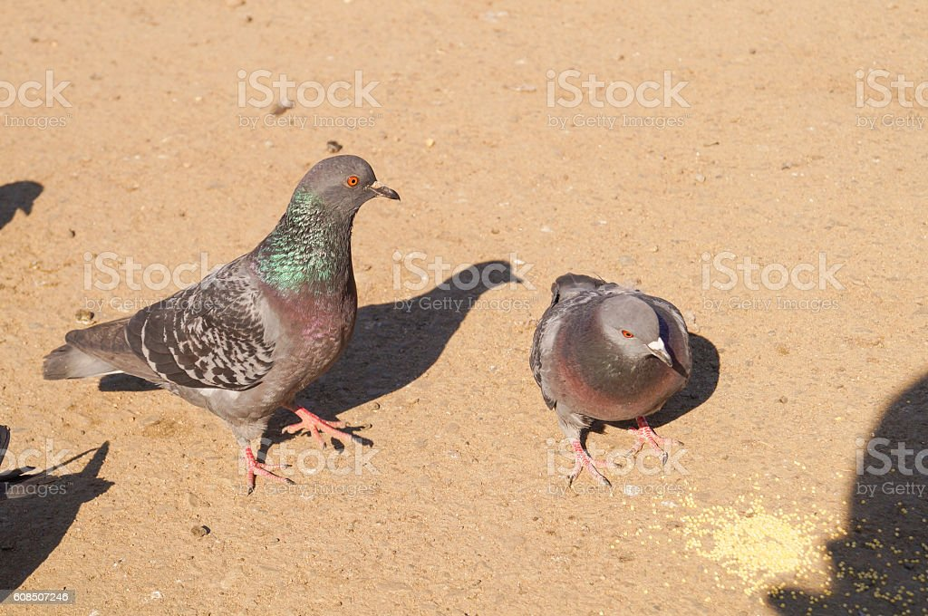 Gray pigeon is eating some yellow grain in the morning stock photo