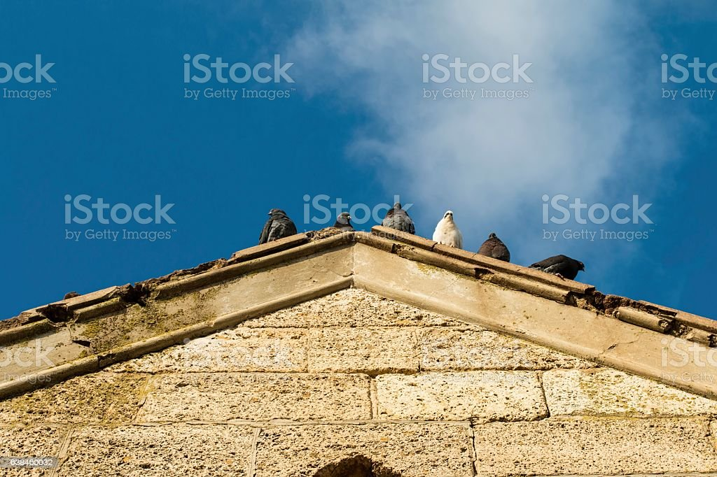 Gray pigeon on the old roof. stock photo