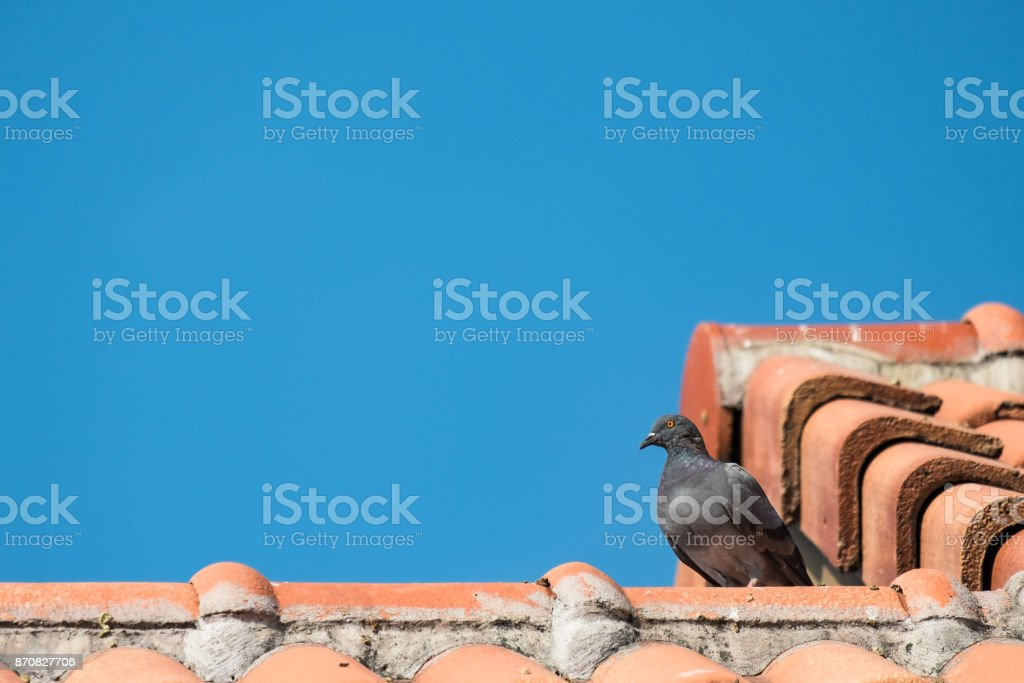 gray pigeon sitting on orange clay house roof on blue sky stock photo
