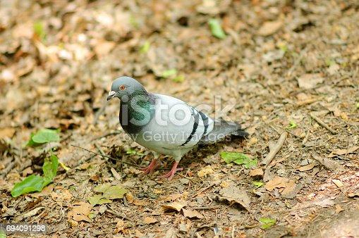 istock A gray pigeon walks the ground. 694091298
