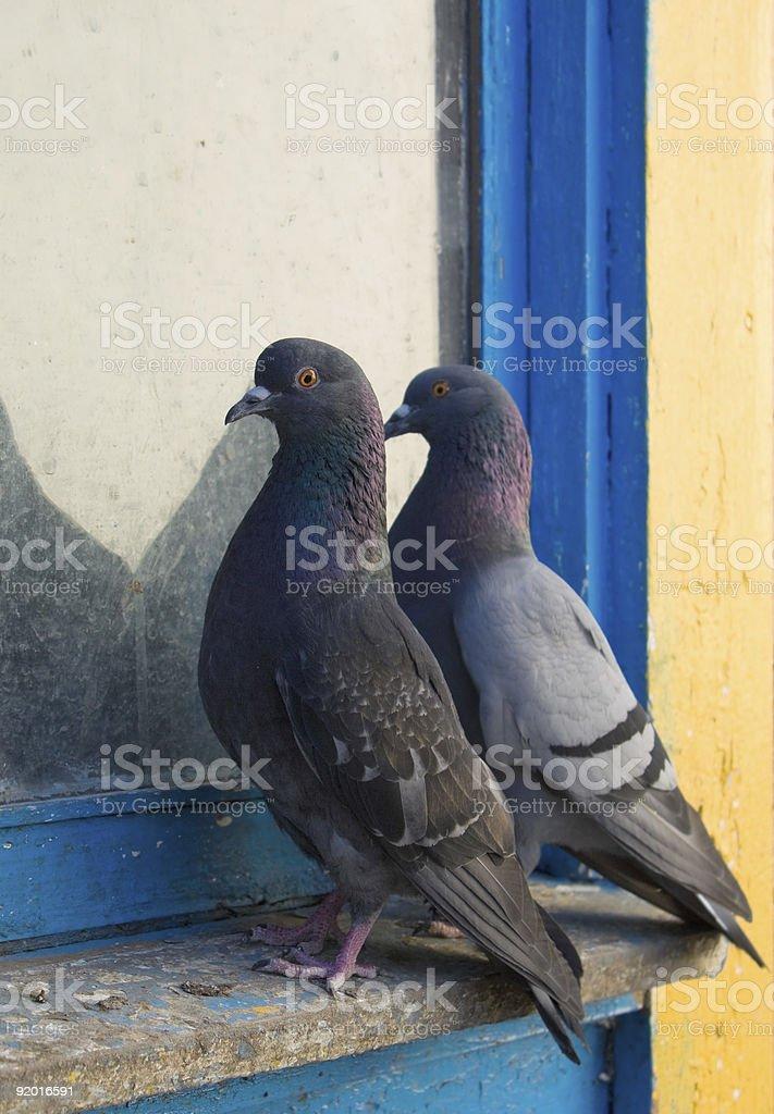 Gray pigeons royalty-free stock photo
