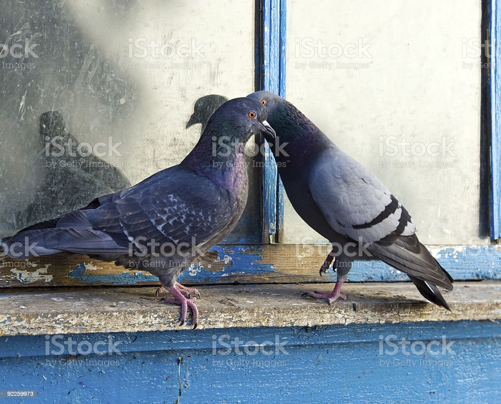 Gray pigeons royalty-free stock photo
